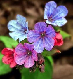 цветки медуницы тоже полезны как средства для повышения потенции, и для мужчин из них можно сделать неплохие настойки