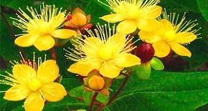цветки зверобоя являются хорошим народным средством для потенции мужчины и неплохо зарекомендовали себя в качестве настоек и отваров
