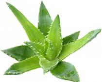 Из всех афродизиаков женьшень выделяется тем, что данный продукт выращивают по нескольку лет на плантациях, чтобы количество витаминов увеличилось до максимума