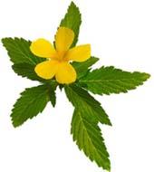 Другое название дамианы - тёрнера раскидистая, которая используется в составе многих биодобавок для мужчин